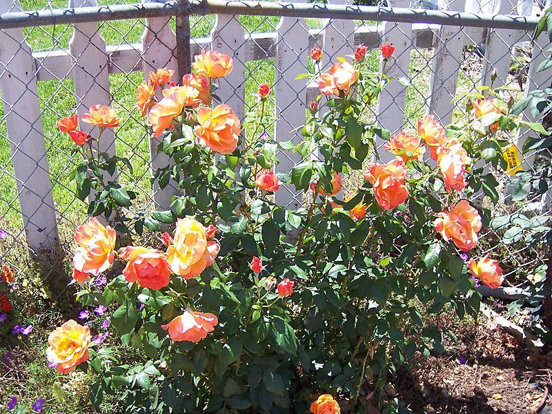 Orange_rosebush